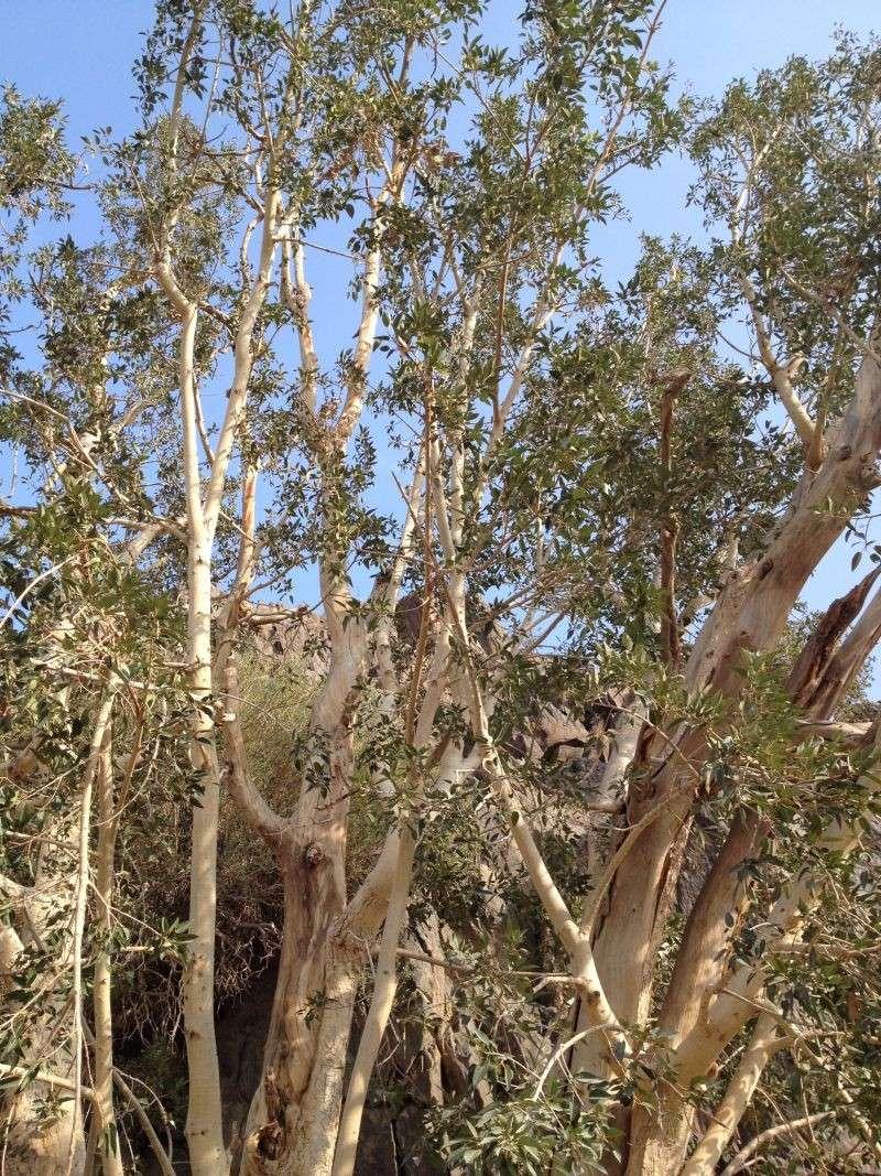 31 year old Ficus burkei progression. Img_0810