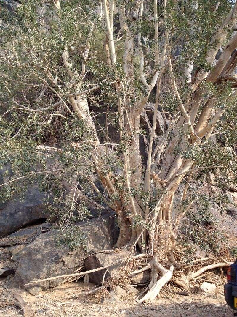 31 year old Ficus burkei progression. Img_0811