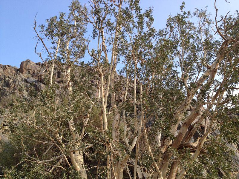 31 year old Ficus burkei progression. Img_0812