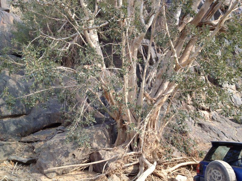 31 year old Ficus burkei progression. Img_0813