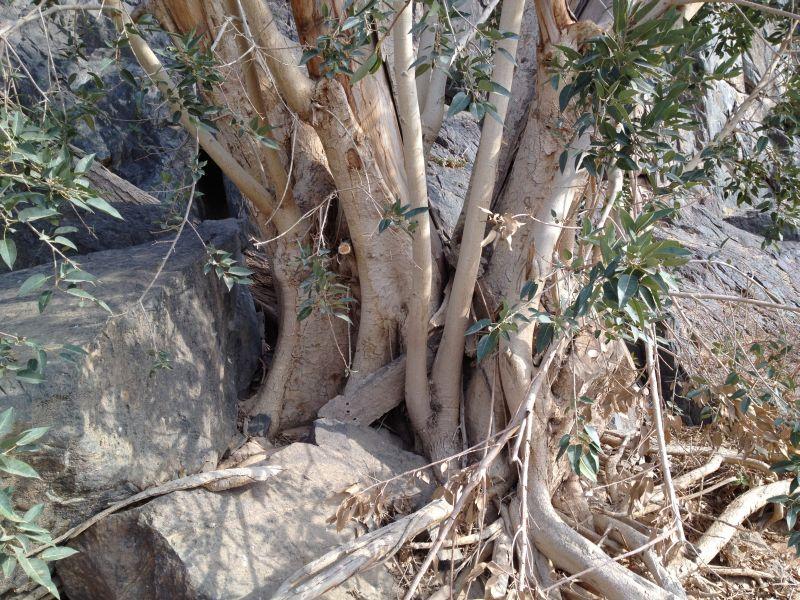 31 year old Ficus burkei progression. Img_0814