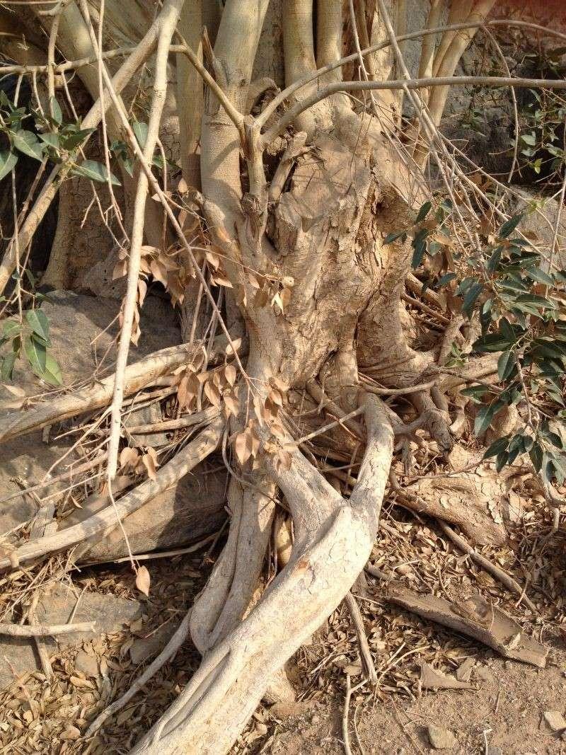 31 year old Ficus burkei progression. Img_0815