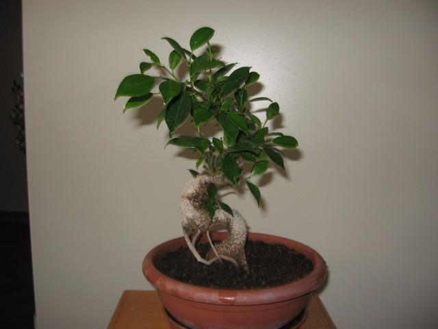 Ficus Retusa....lo abbasso ?? - Pagina 4 Img_1710