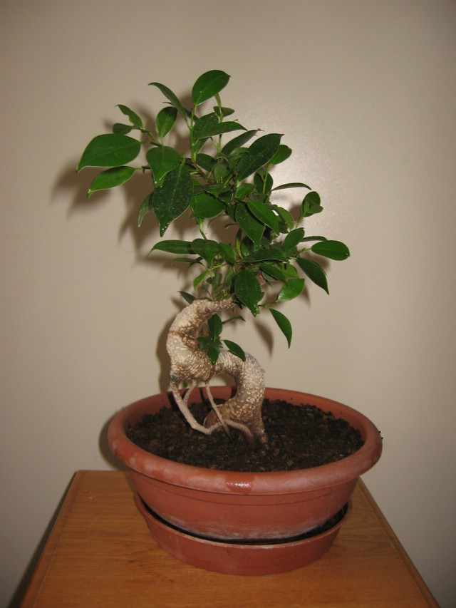 Ficus Retusa....lo abbasso ?? - Pagina 4 Img_1711