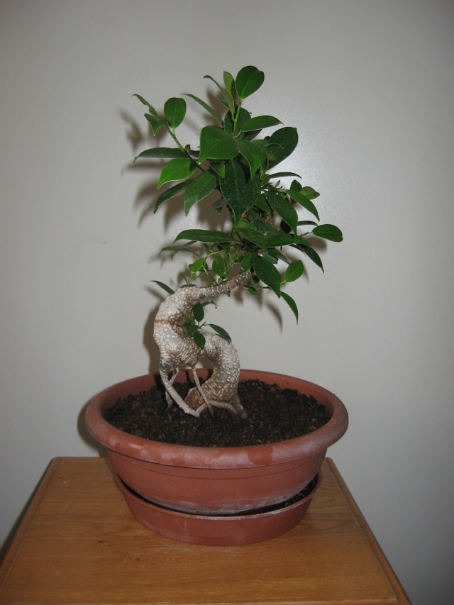 Ficus Retusa....lo abbasso ?? - Pagina 4 Img_1712