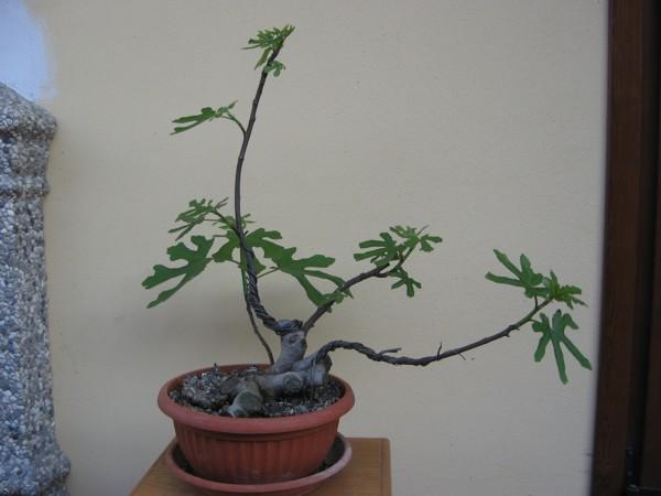 Piccolo Ficus Carica - Pagina 4 Img_2910
