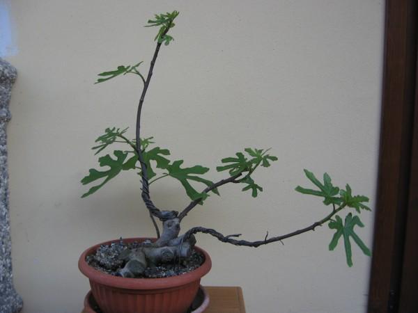 Piccolo Ficus Carica - Pagina 4 Img_2911