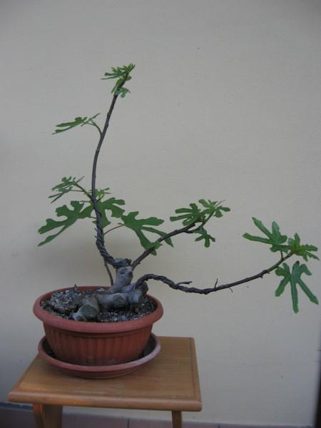Piccolo Ficus Carica - Pagina 4 Img_2912