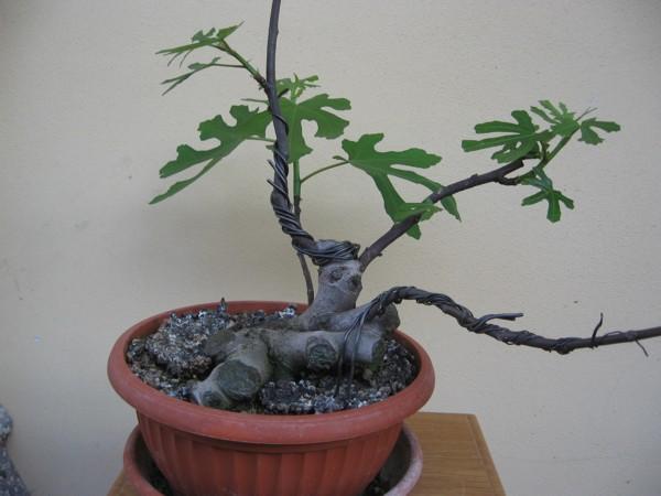 Piccolo Ficus Carica - Pagina 4 Img_2913