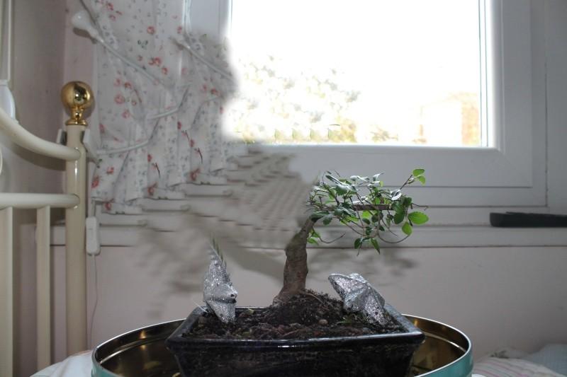 bonsai olmo cinese Olmoim10