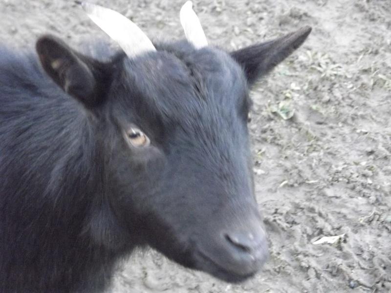 SAMBA chèvre naine 01410