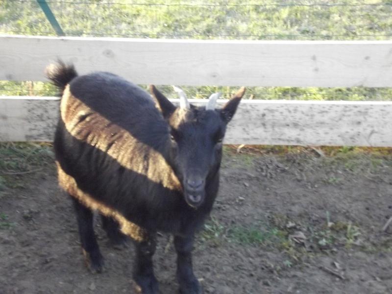 SAMBA chèvre naine 02010