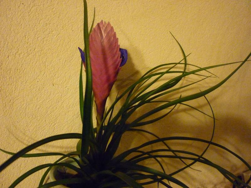 tillandsia en fleur P1030422