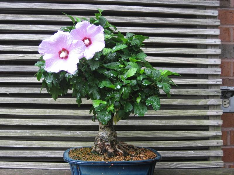 Rose of sharon ??? Img_2410