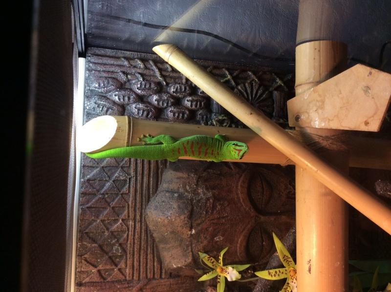Cherche Gecko Phelsuma Grandis Mâle  Image14
