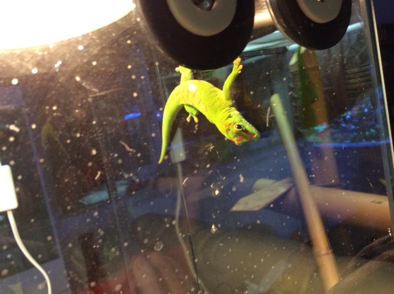 Cherche Gecko Phelsuma Grandis Mâle  Image15