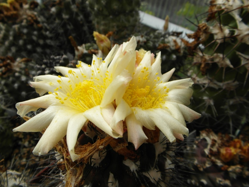Cacti and Sukkulent in Köln, every day new flowers in the greenhouse Part 73 Bild1001
