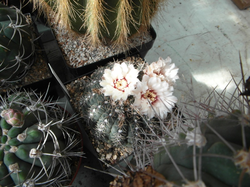 Cacti and Sukkulent in Köln, every day new flowers in the greenhouse Part 73 Bild1008