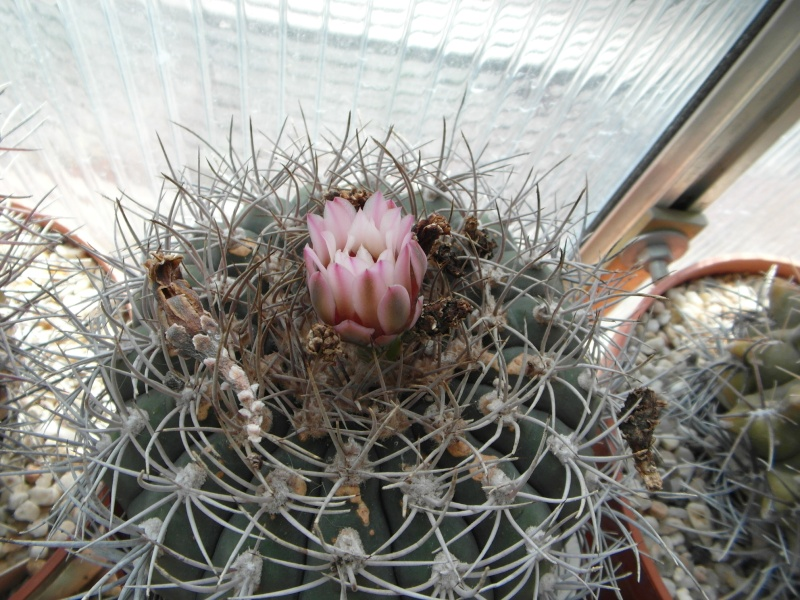 Cacti and Sukkulent in Köln, every day new flowers in the greenhouse Part 73 Bild1010