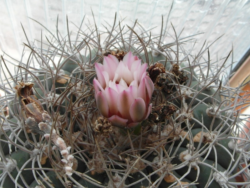 Cacti and Sukkulent in Köln, every day new flowers in the greenhouse Part 73 Bild1013
