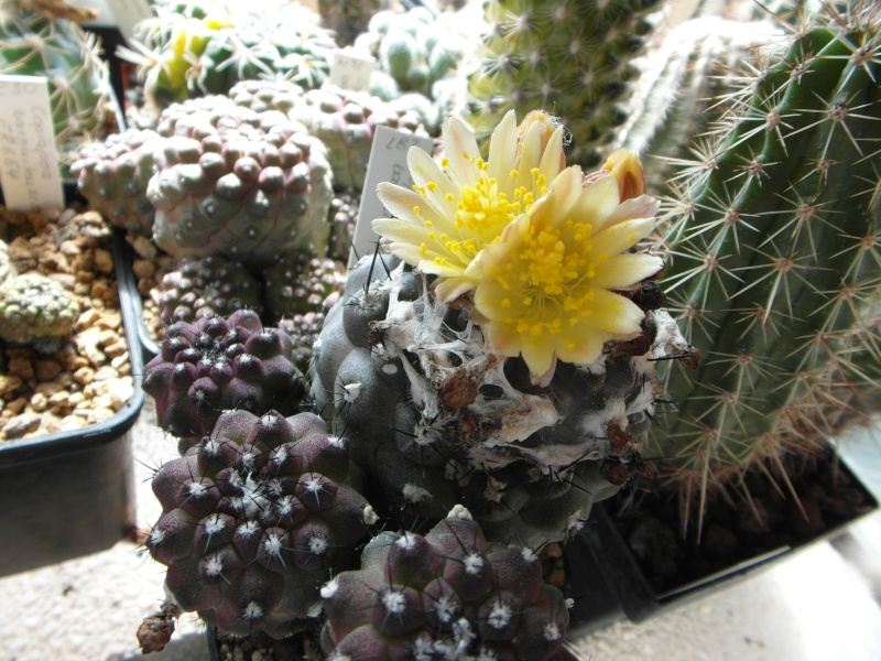Cacti and Sukkulent in Köln, every day new flowers in the greenhouse Part 73 Bild1019