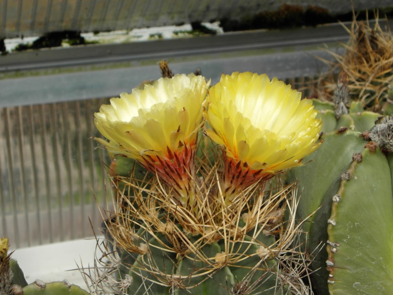 Cacti and Sukkulent in Köln, every day new flowers in the greenhouse Part 73 Bild1028