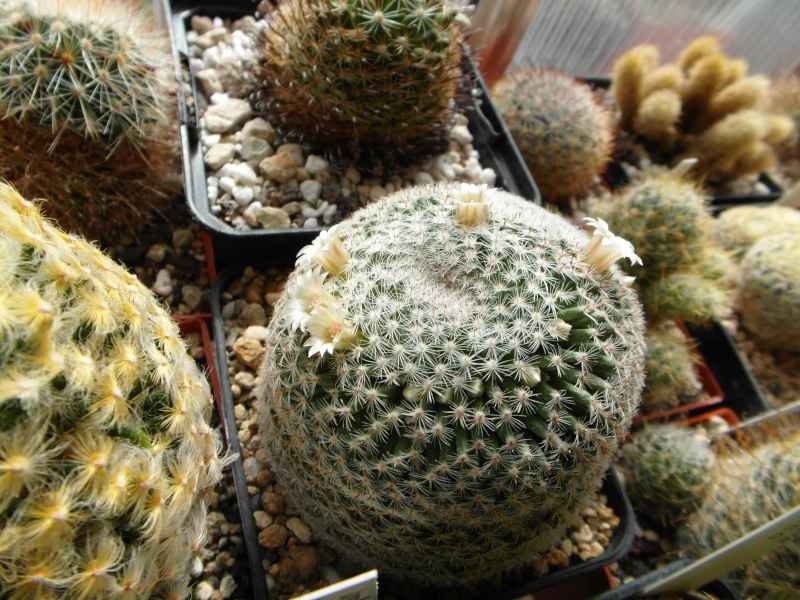 Cacti and Sukkulent in Köln, every day new flowers in the greenhouse Part 73 Bild1034