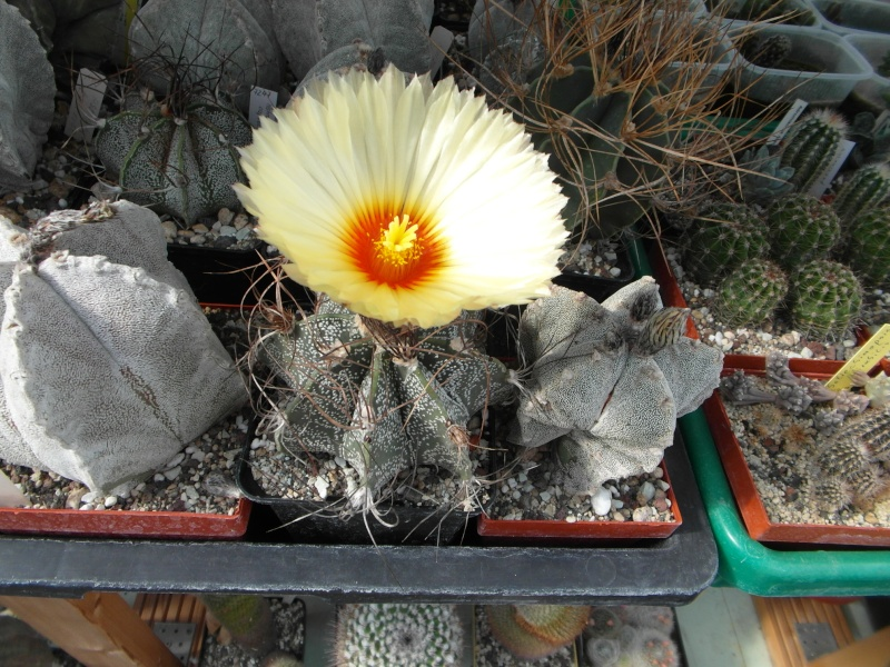 Cacti and Sukkulent in Köln, every day new flowers in the greenhouse Part 73 Bild1042