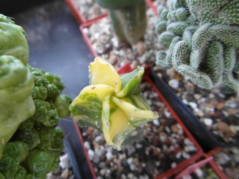 Cacti and Sukkulent in Köln, every day new flowers in the greenhouse Part 73 Bild1045