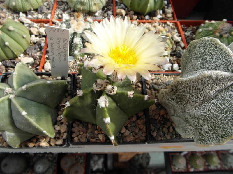 Cacti and Sukkulent in Köln, every day new flowers in the greenhouse Part 73 Bild1046