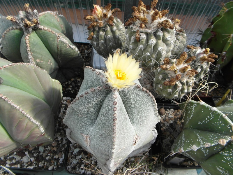 Cacti and Sukkulent in Köln, every day new flowers in the greenhouse Part 73 Bild1048