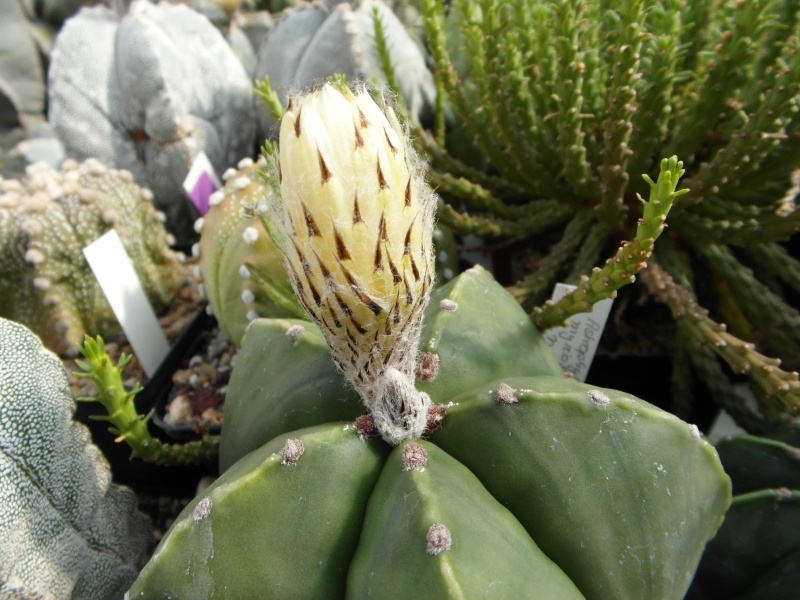 Cacti and Sukkulent in Köln, every day new flowers in the greenhouse Part 73 Bild1049