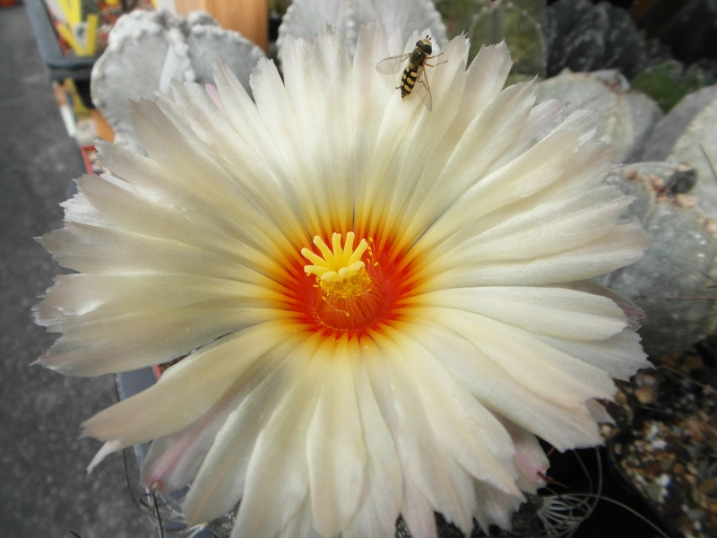 Cacti and Sukkulent in Köln, every day new flowers in the greenhouse Part 74 Bild1087