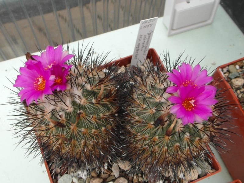 Cacti and Sukkulent in Köln, every day new flowers in the greenhouse Part 74 Bild1090