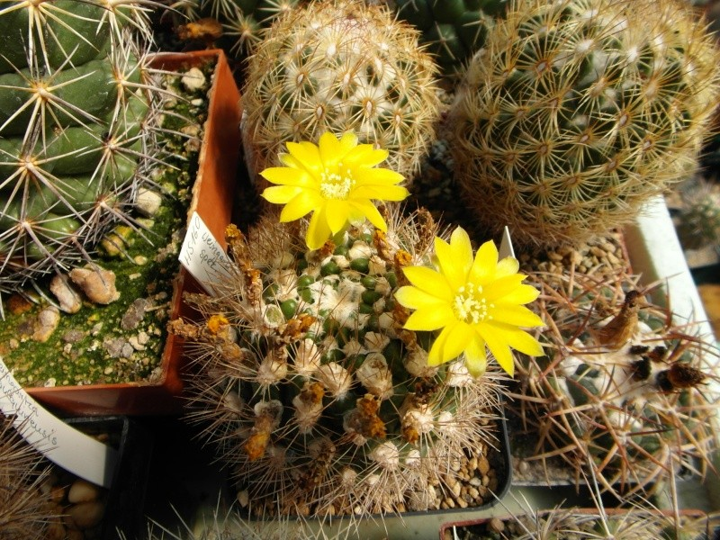 Cacti and Sukkulent in Köln, every day new flowers in the greenhouse Part 74 Bild1092