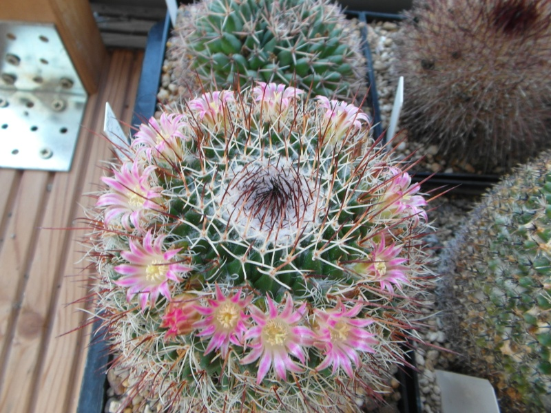 Cacti and Sukkulent in Köln, every day new flowers in the greenhouse Part 74 Bild1096