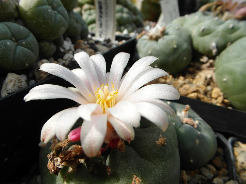 Cacti and Sukkulent in Köln, every day new flowers in the greenhouse Part 74 Bild1097
