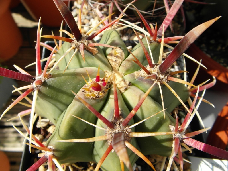 Cacti and Sukkulent in Köln, every day new flowers in the greenhouse Part 74 Bild1104