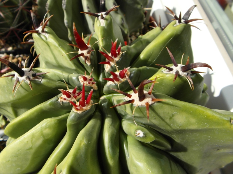 Cacti and Sukkulent in Köln, every day new flowers in the greenhouse Part 74 Bild1105