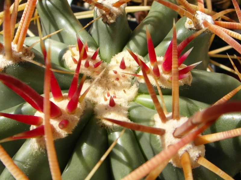Cacti and Sukkulent in Köln, every day new flowers in the greenhouse Part 74 Bild1107