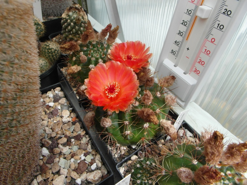 Cacti and Sukkulent in Köln, every day new flowers in the greenhouse Part 74 Bild1118