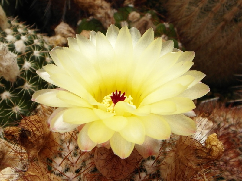 Cacti and Sukkulent in Köln, every day new flowers in the greenhouse Part 74 Bild1119