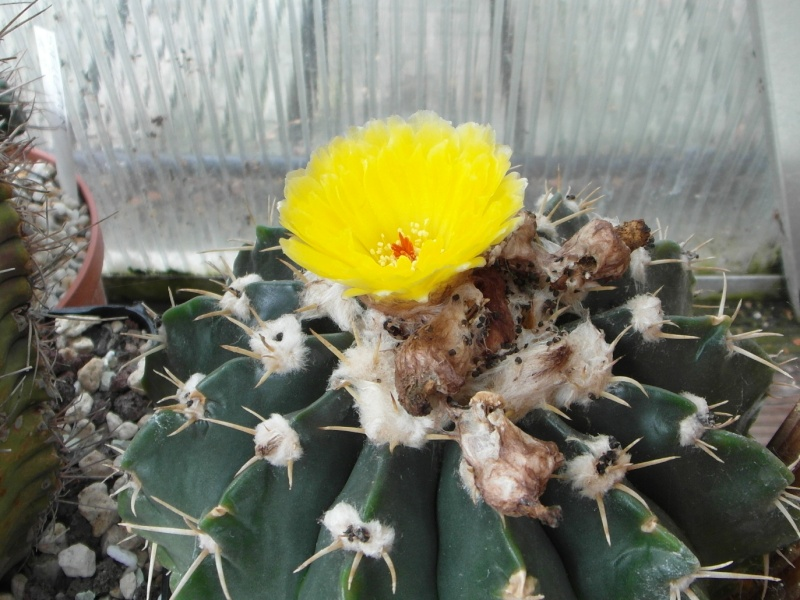 Cacti and Sukkulent in Köln, every day new flowers in the greenhouse Part 74 Bild1121
