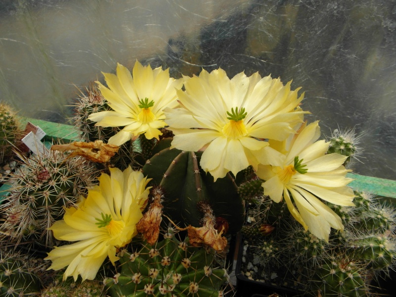 Cacti and Sukkulent in Köln, every day new flowers in the greenhouse Part 74 Bild1122