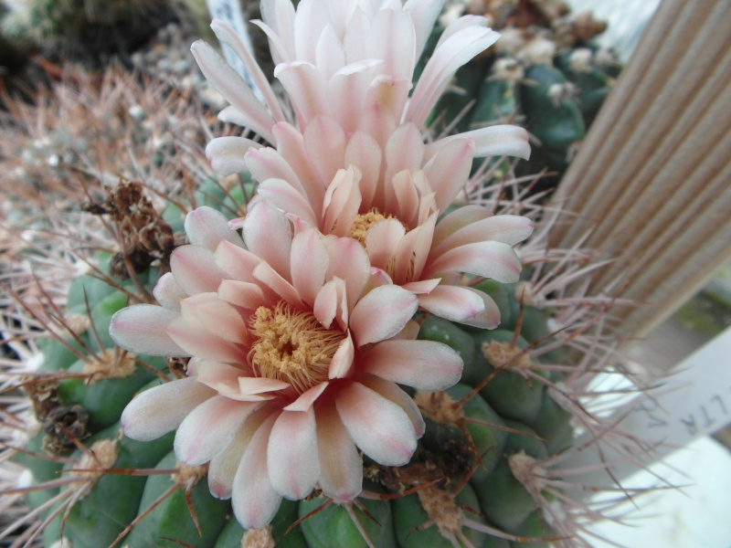 Cacti and Sukkulent in Köln, every day new flowers in the greenhouse Part 74 Bild1123