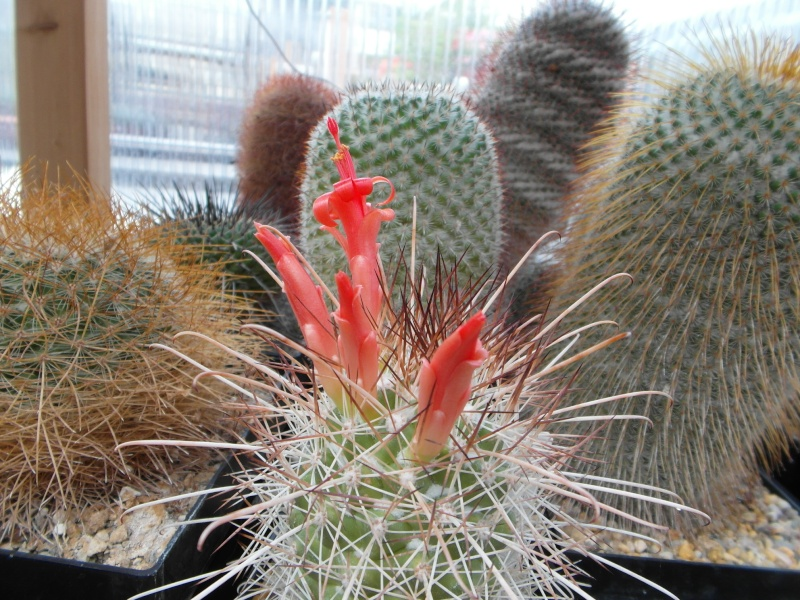 Cacti and Sukkulent in Köln, every day new flowers in the greenhouse Part 74 Bild1130