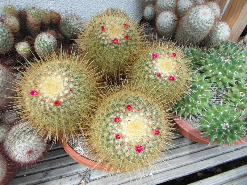 Cacti and Sukkulent in Köln, every day new flowers in the greenhouse Part 74 Bild1131