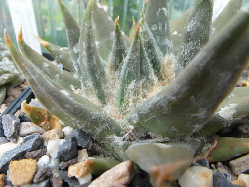 Cacti and Sukkulent in Köln, every day new flowers in the greenhouse Part 74 Bild1132