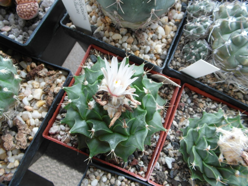 Cacti and Sukkulent in Köln, every day new flowers in the greenhouse Part 74 Bild1134
