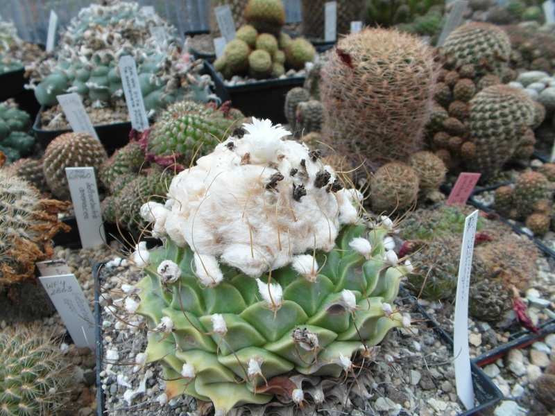 Cacti and Sukkulent in Köln, every day new flowers in the greenhouse Part 74 Bild1135